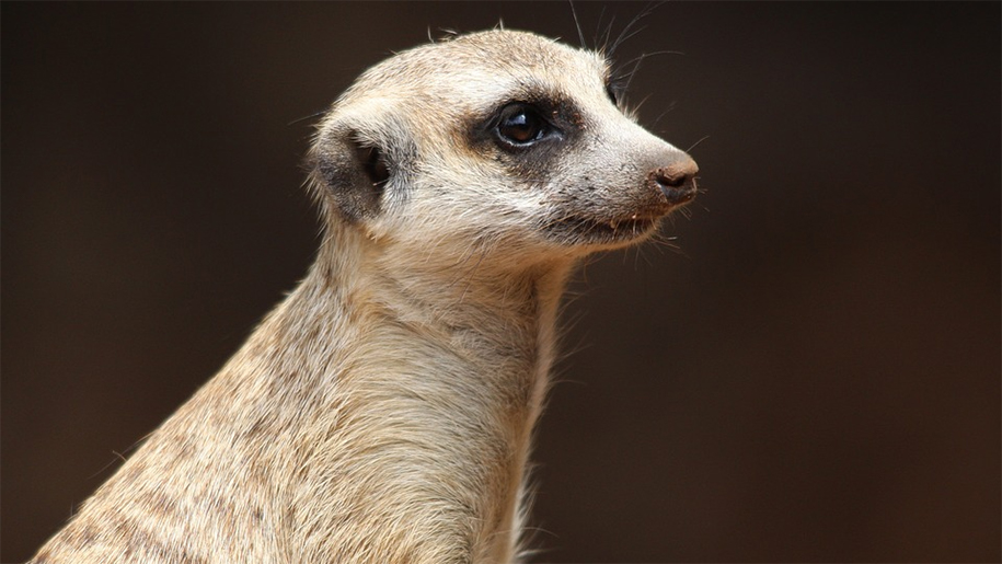 close up of meerkat