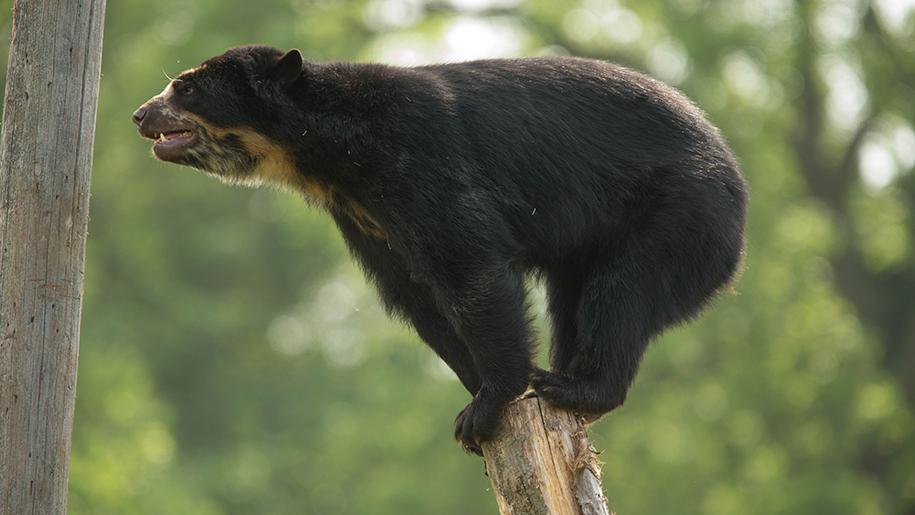 bear balancing on tree