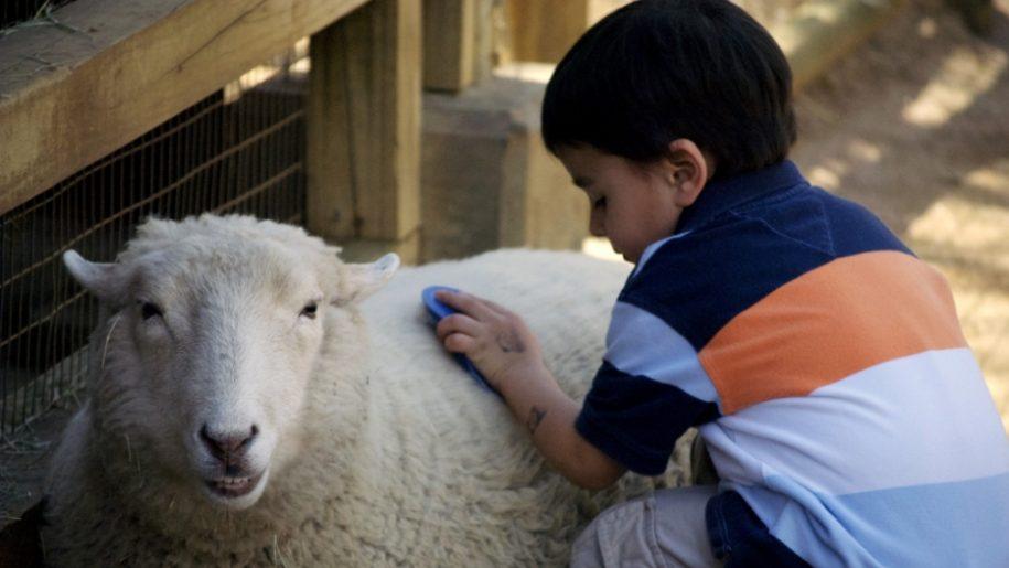 boy brushing sheep