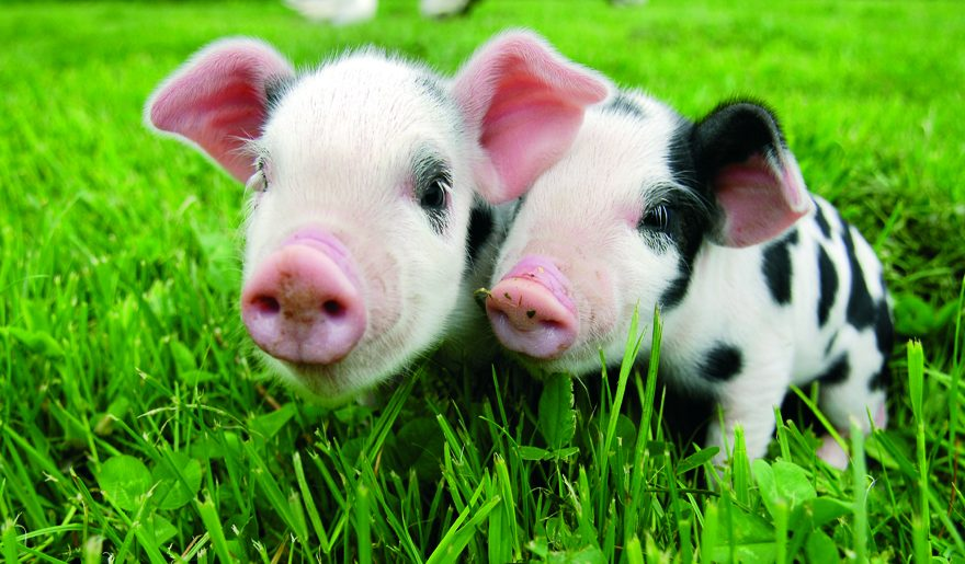 Roves Farm piglets