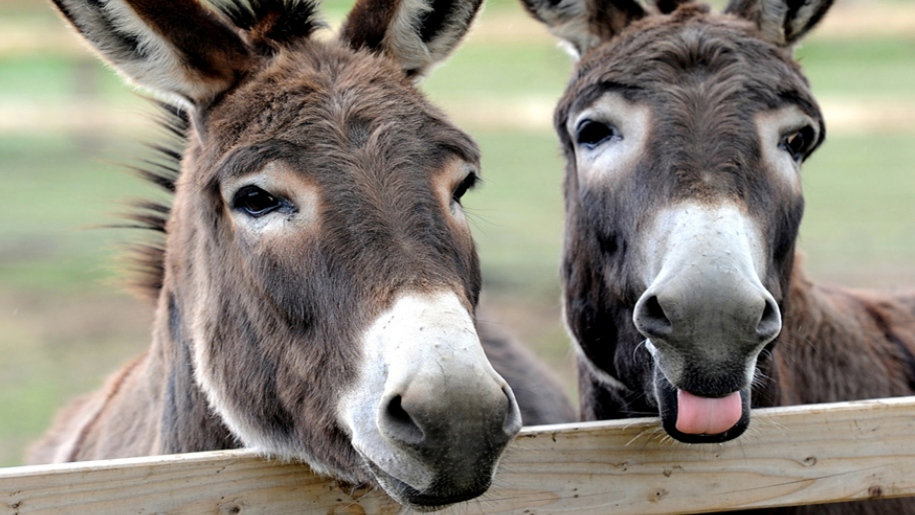 two donkeys looking over fence