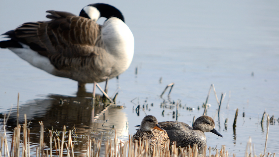 goose and ducks