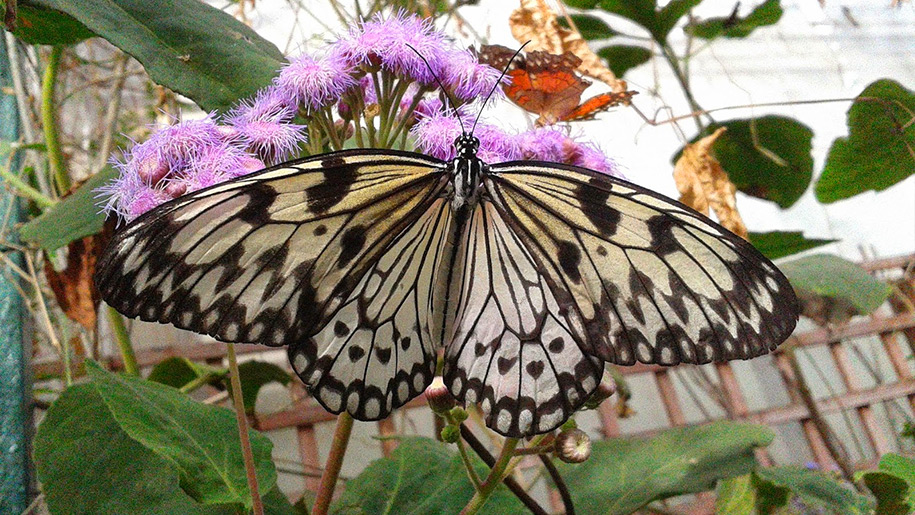 Stratford-upon-Avon Butterfly Farm black and white butterfly