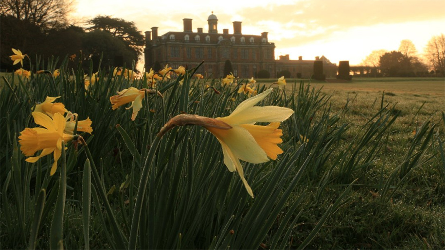 daffodils by the hall