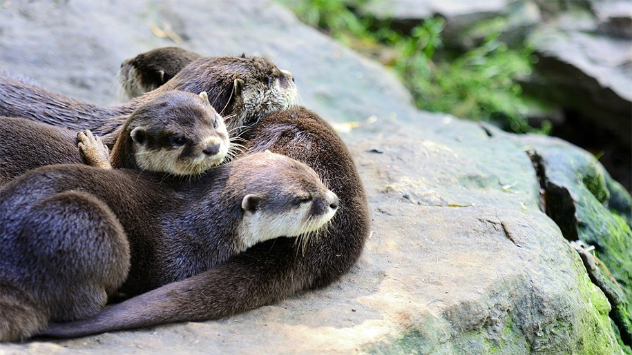 otters on a rock