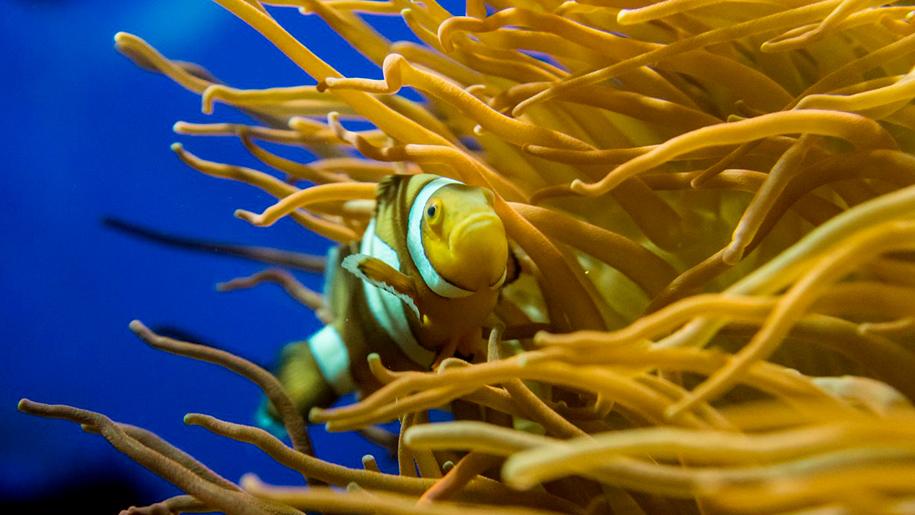 The Deep clownfish