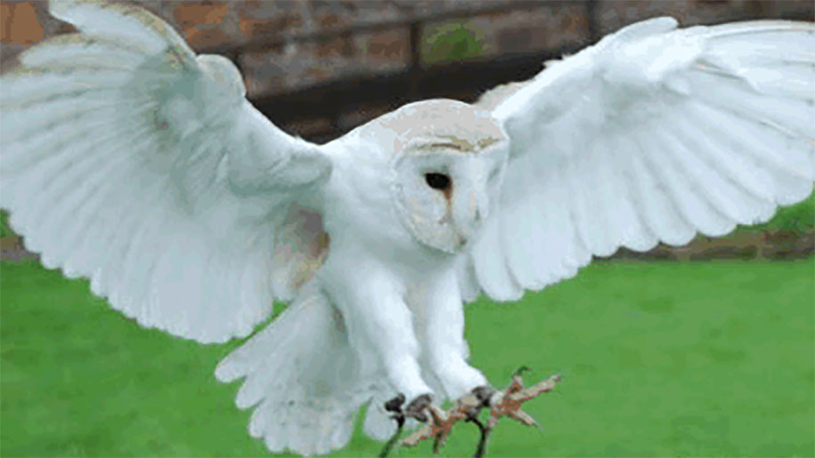 white owl in flight