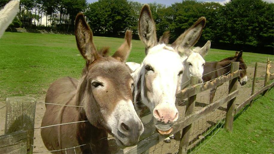 donkeys by a fence