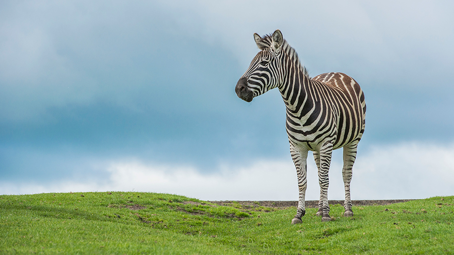 West Midland Safari Park zebra