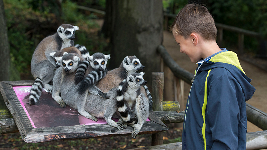 West Midland Safari Park child with lemurs