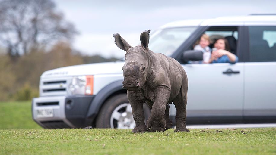 West Midland Safari Park baby rhino