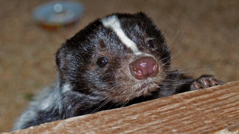 Whitehouse Farm Centre baby badger