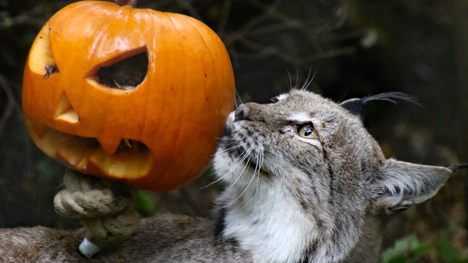 cat with pumpkin