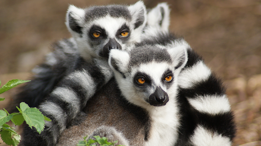 two lemurs at Yorkshire Wildlife Park