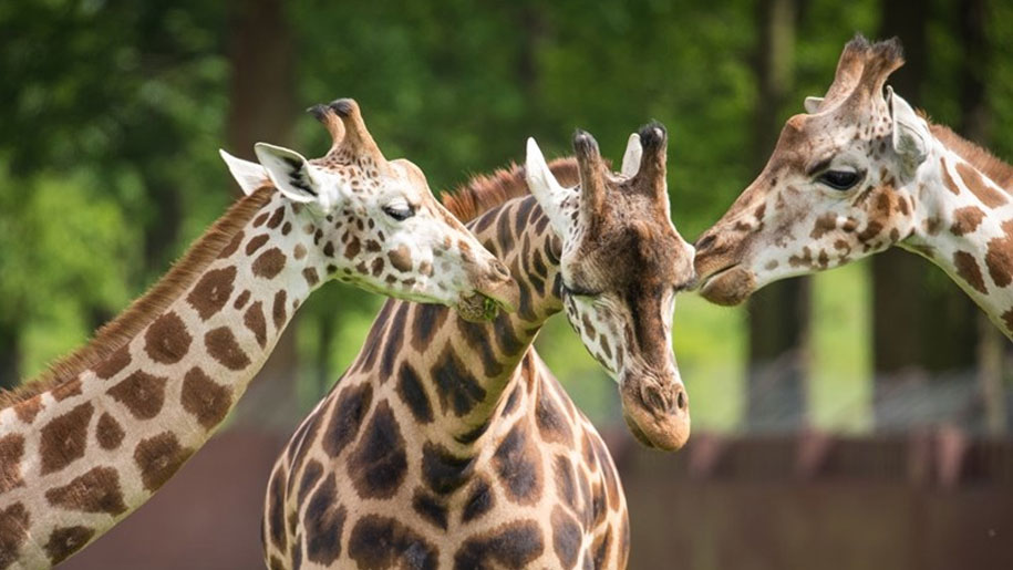three Giraffes standing together