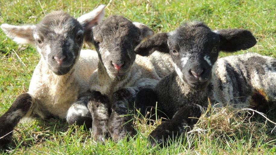 Rove's Farm lambs