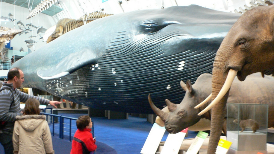 blue whale and family in Natural History Museum