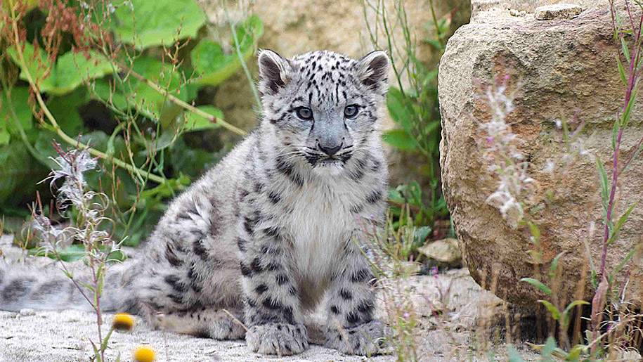 Twycross Zoo baby snow leopard