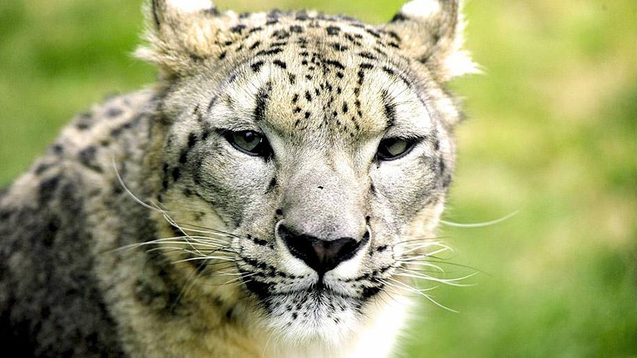 Twycross Zoo Leopard