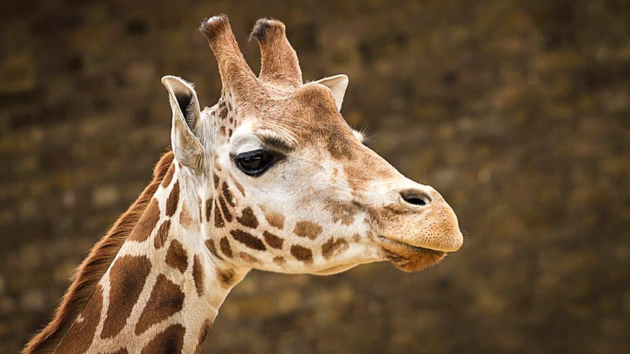 Twycross Zoo Giraffe