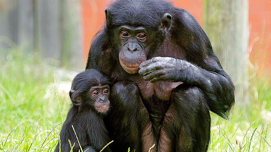 chimp and baby chimp