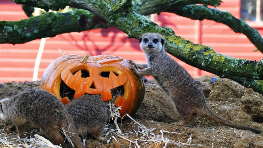 Marwell Zoo meerkats with pumpkin