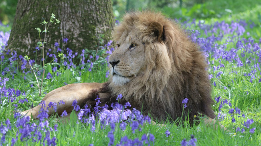 Lion sitting in between bluebells