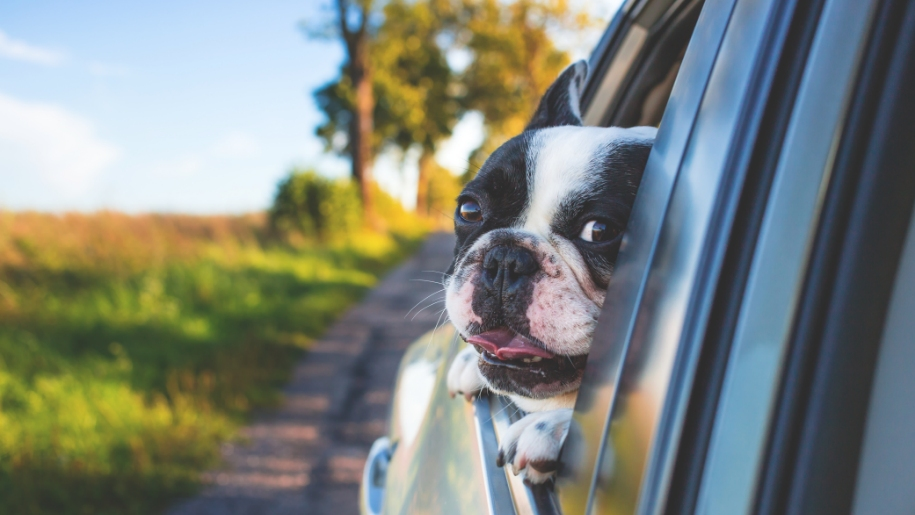 dog out of car window