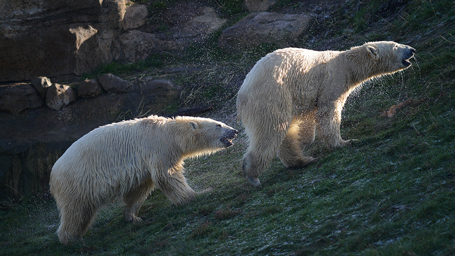 two polar bears shaking off water