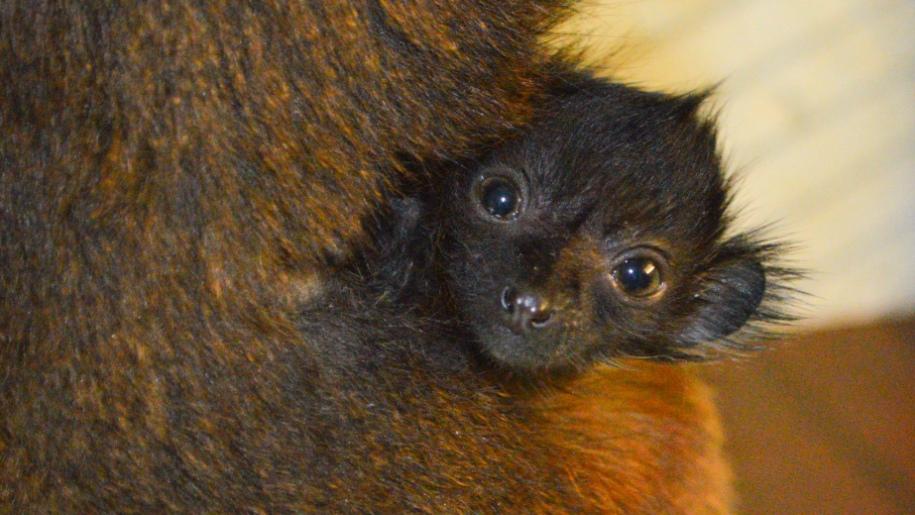 paradise wildlife park primate