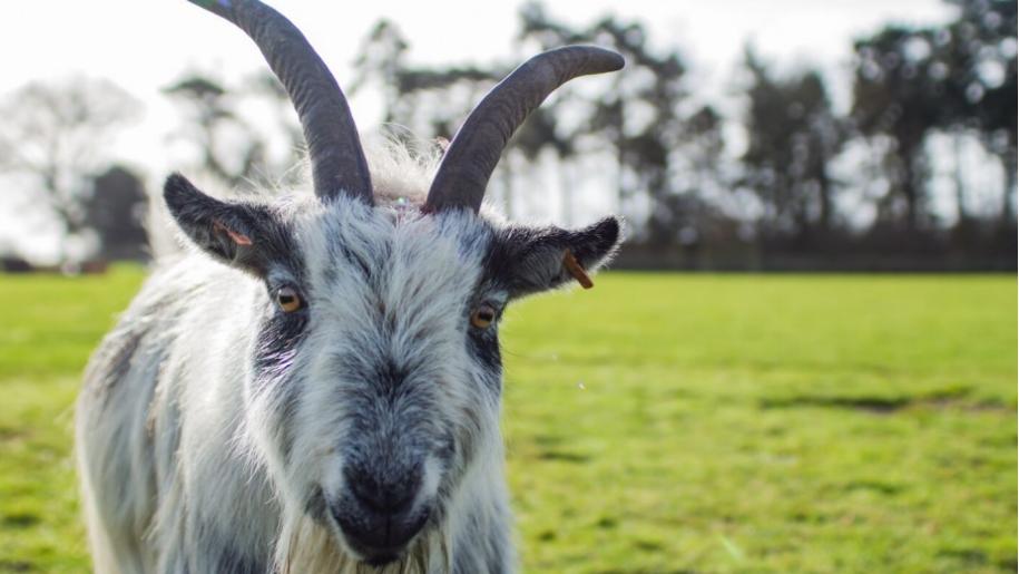 Hatfield Park Farm goat