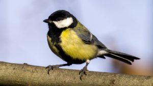 garden bird great tit
