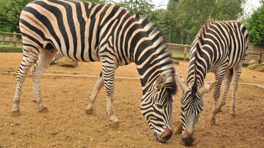 zebra paradise wildlife