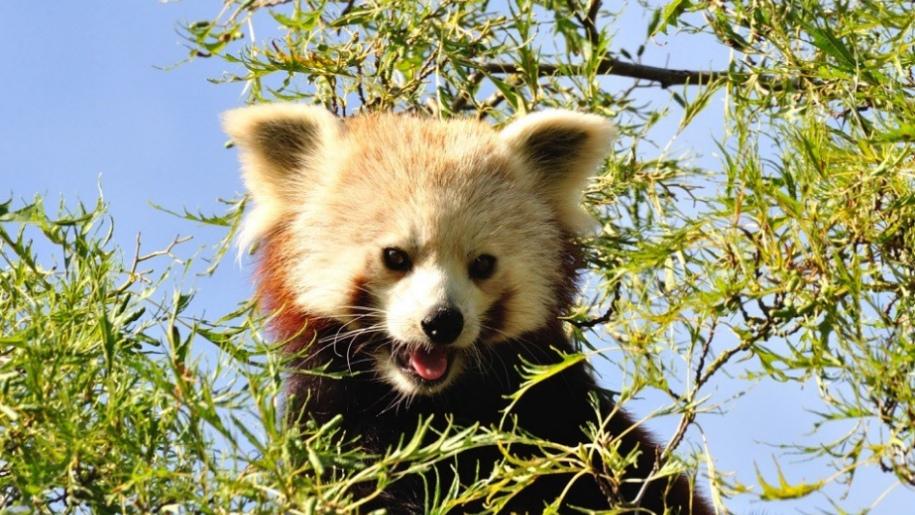 shepreth wildlife red panda