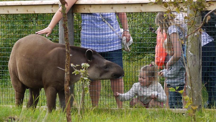 girl looking at Tapir
