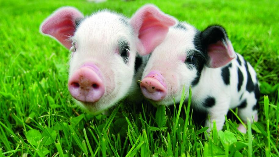 piglets in grass