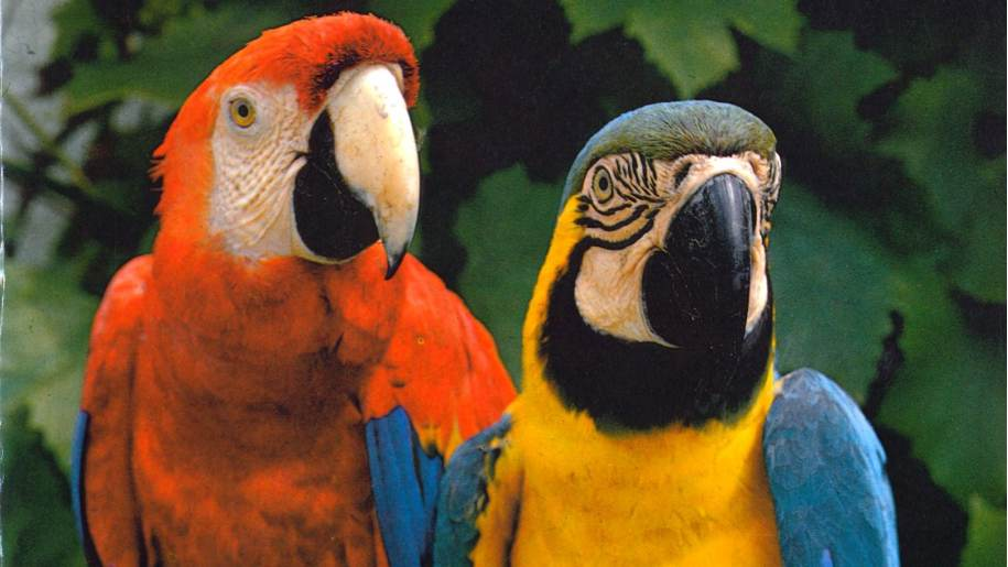 two colourful parrots at Birdworld
