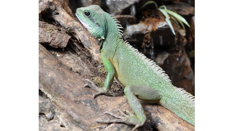 lakeland wildlife lizard
