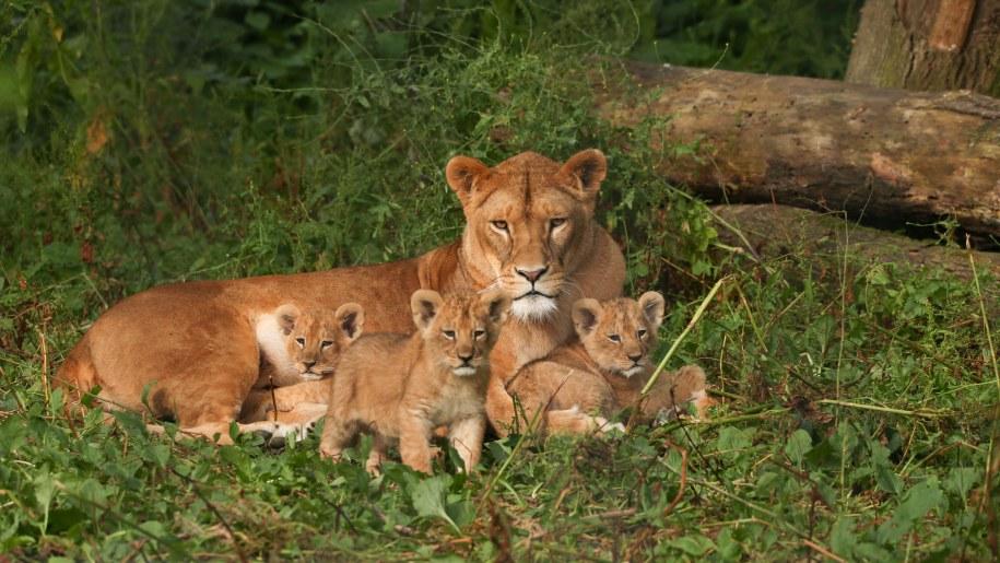 tigress and cubs Port Lympne