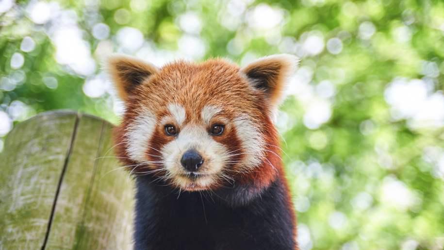 drusillas, panda
