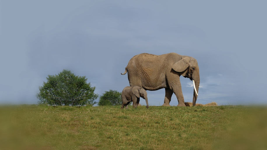 baby elephant calf and mother at Howletts