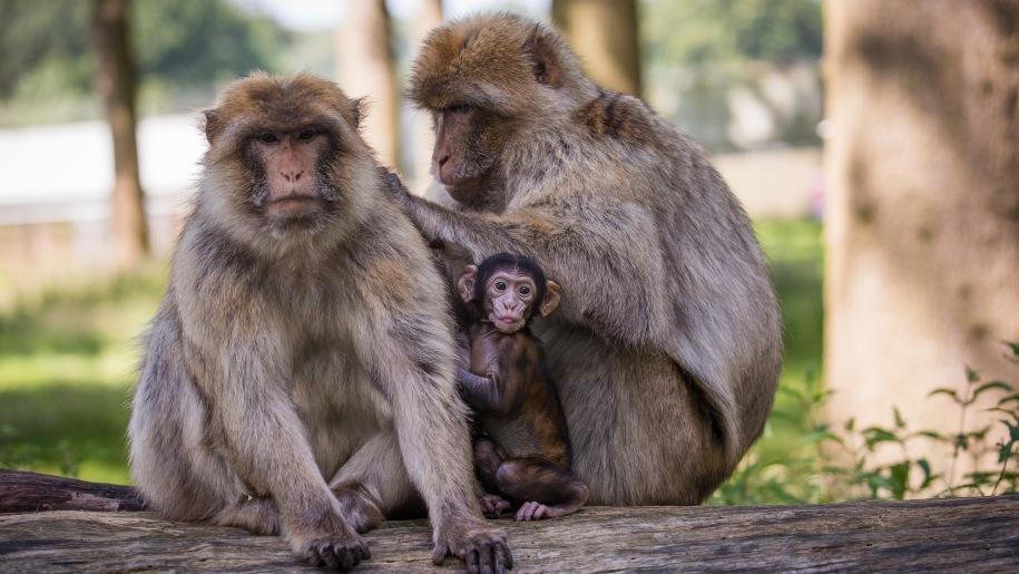 monkey family at Woburn Safari Park