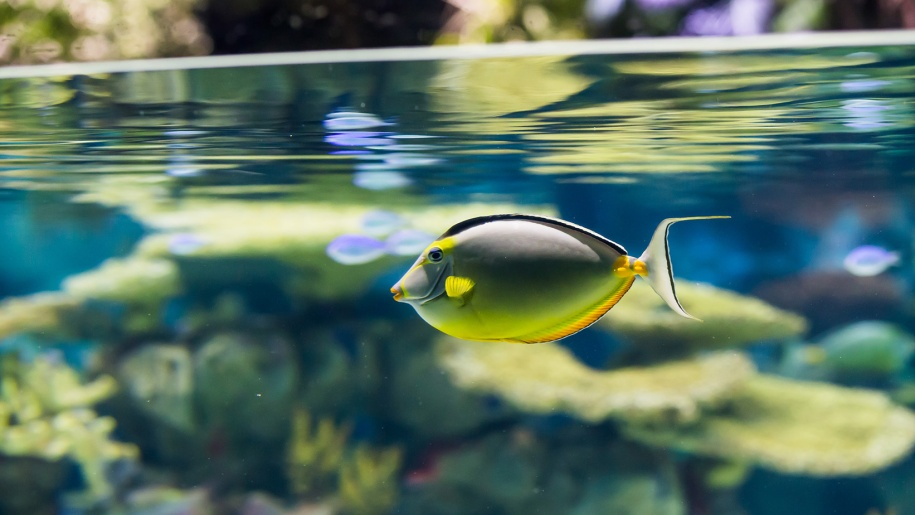 blue and yellow tropical fish swimming in a pool