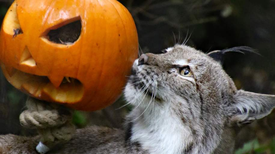 wildwood trust wild cat with pumpkin