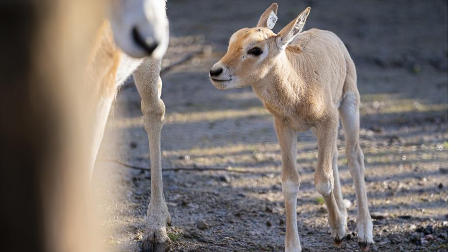 New born Scimitar Horned Oryx at Marwell Zoo