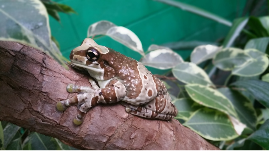 Close up of Amazon milk frog