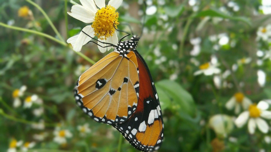 Close up of butterfly on daisy flower