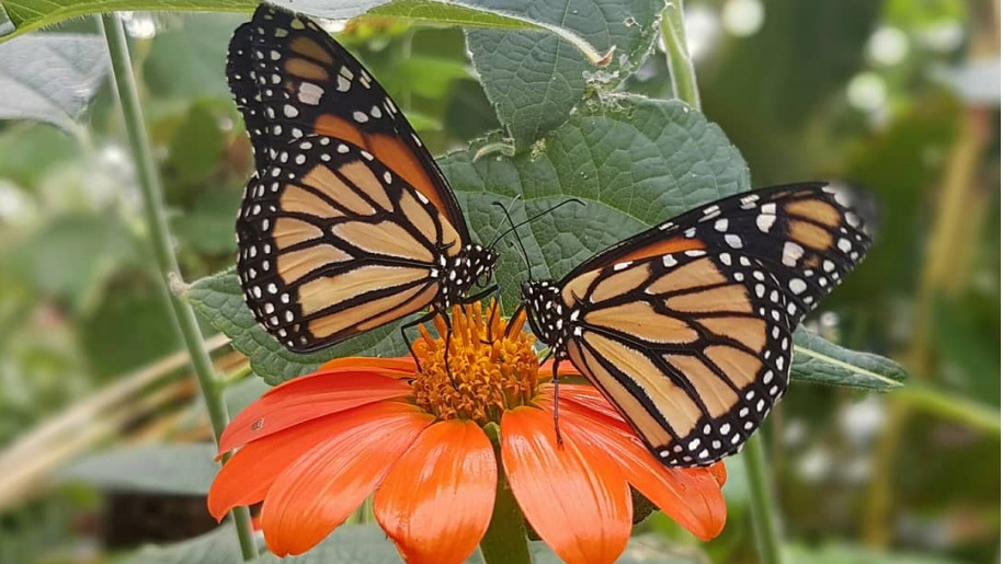 Close up of Monarch butterfly on orange flower