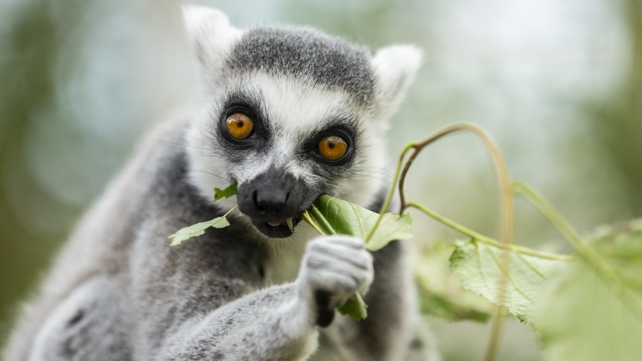 Lemur snacking on leaves