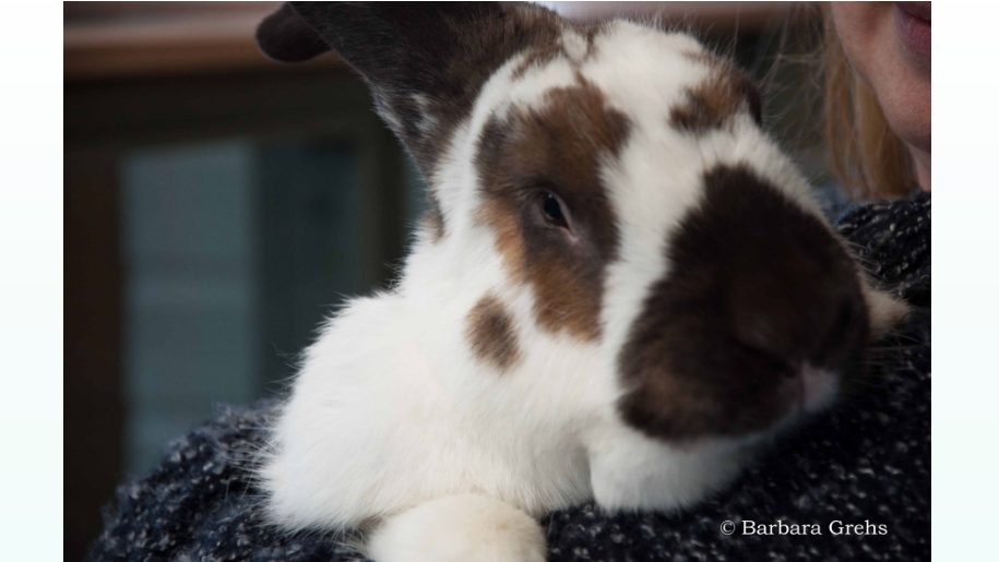 brown & white fluffy bunny